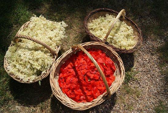 Sepmes, Frankrijk: Cueillette de fleurs de sureau et de coquelicot