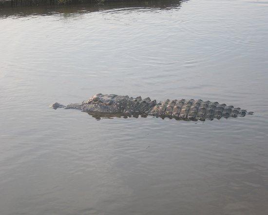 Sea Rim State Park: Alligator in front of the cabin