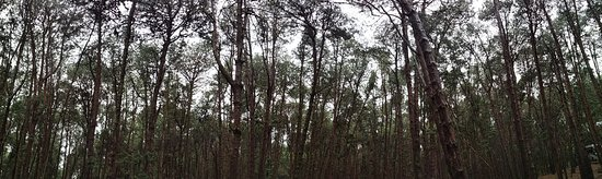 Pine Forest: PANO_20180816_150128_large.jpg