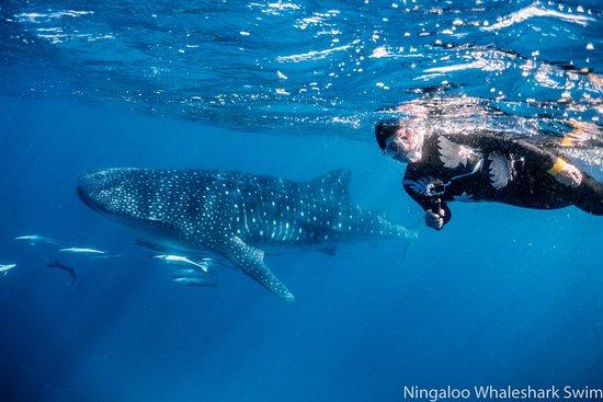 Ningaloo Whaleshark Swim Image