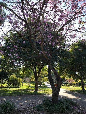 Sakura brisbane
