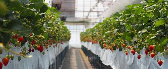 Hachimantai, اليابان: Strawberry picking 