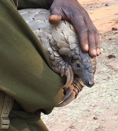 Wild Is Life Trust and ZEN: The rate pangolin can be viewed up-close at 'Wild Is Life' in Harare