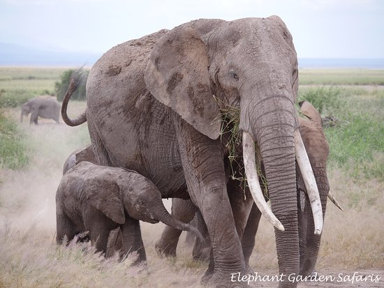 Amboseli Eco-system, Quênia: Up close with the elephants