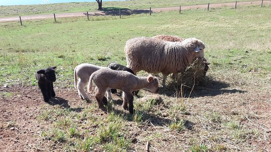 Yabbaloumba Retreat: Sheep and lambs