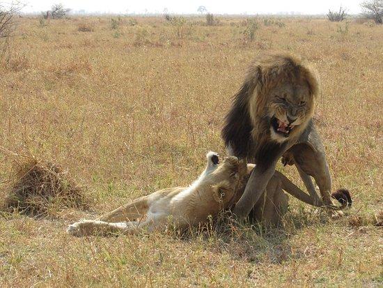 Maun, Botswana: Lion game