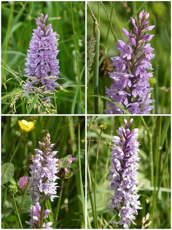 Spotted Common Orchid by the towpath of the Cromford Canal.