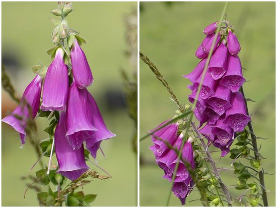 Foxgloves along the Cromford Canal.