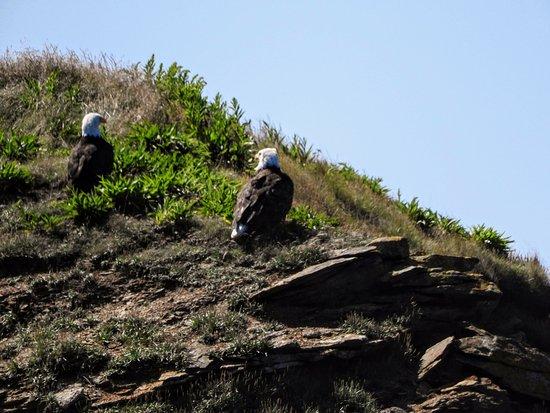 Big Bras d'Or, Канада: pair of Bald Eagles on Bird Island