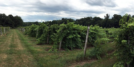 Smicksburg, PA: A view of the vineyards