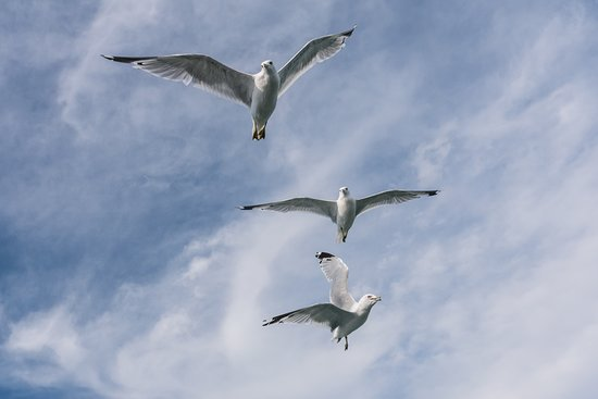 Miller Boat Line: Gulls Following the Boat