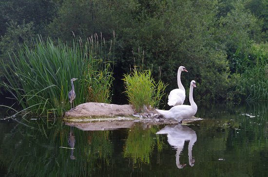 County Kildare, Ireland: A Heron and 2 swans. Magical sight