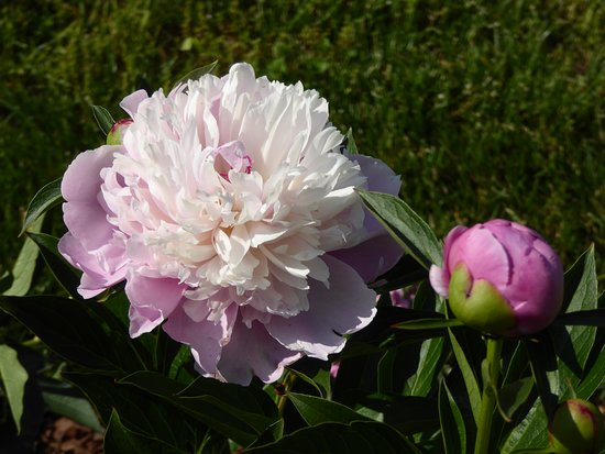 Harvey's Garden: peony season smells as good as it looks ... wonderful!