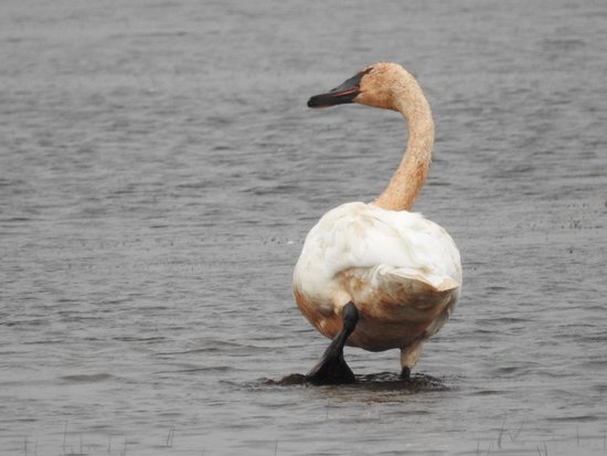 Seney, MI: Trumpeter Swan