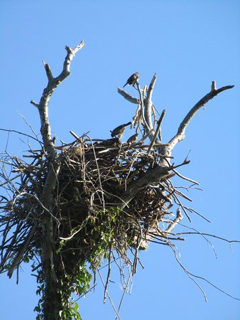 Ferry Park: three bird hanging out in an empty osprey nest