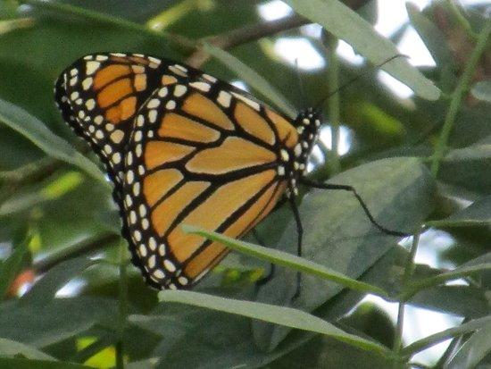 Ferry Park: monarch butterfly
