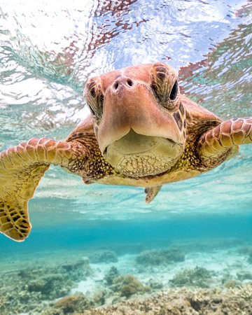 Swimming with the friendly turtles at Lady Elliot Island