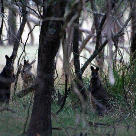 Phillip Island, Austrália: F Oswin Robert Koala Reserve