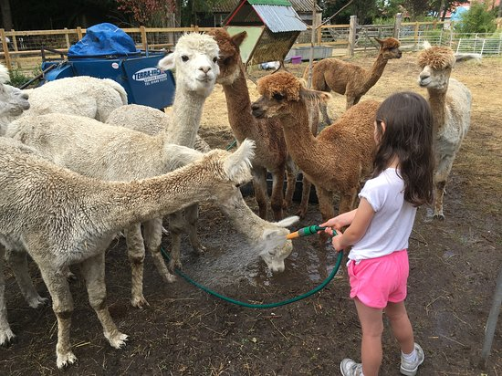 Hilly Ridge Alpacas