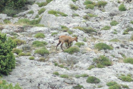 Lama dei Peligni, Италия: Un camoscio