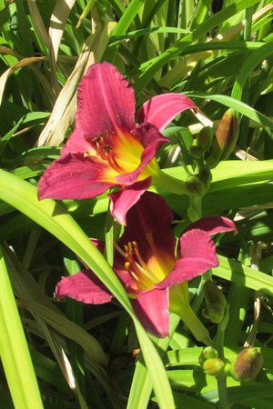 The Bolander Lily