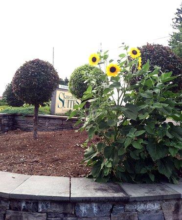 Skaneateles, Estado de Nueva York: Look for the sunflowers!