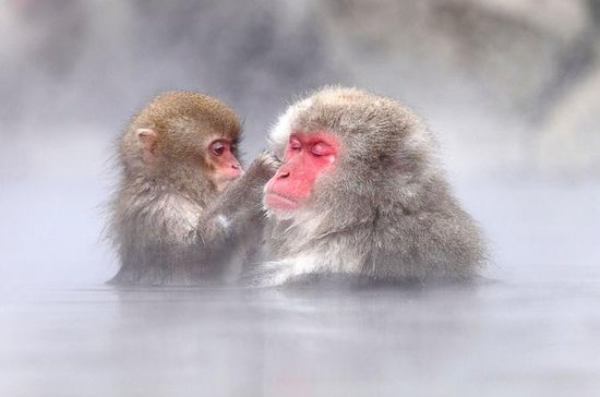 Full-Day Tour of Snow Monkeys...