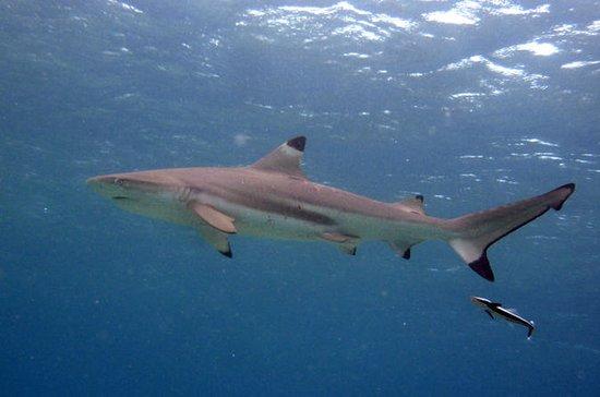Tour écologique de requin-snorkel...