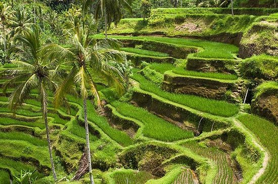 Bali Global Tour: Reisterrasse der ...