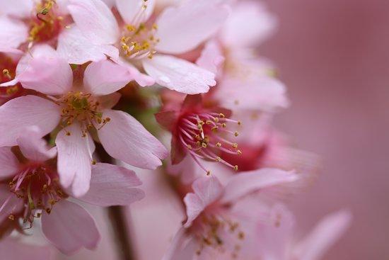 Auburn, Australia: Cherry Blossoms