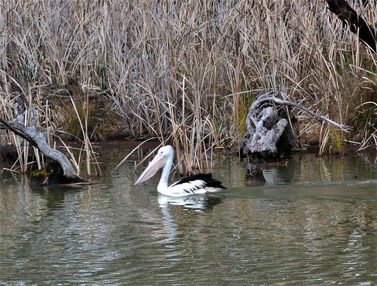 Koondrook, Australia: A pelican on Gunbower creek-from the 'Wetlander'