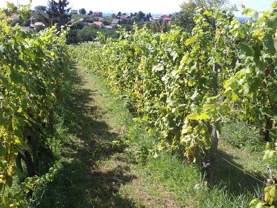 Lendava, Słowenia: Vineyard near Vinarium Tower