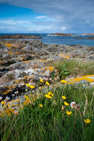 Isle of Coll, UK: Wild flowers and rocks on beach on Coll.