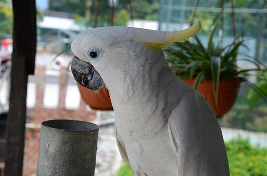Serian, Malaysia: Cockatoo