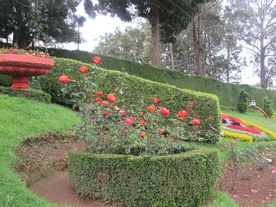 Gorgeous Yellow Rose Picture Of Rose Garden Ooty Udhagamandalam