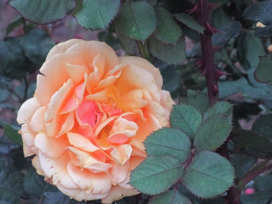 Gorgeous Yellow Rose Picture Of Rose Garden Ooty Tripadvisor