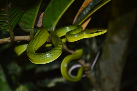 Putussibau, Indonesien: Green snake