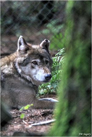 Gouarec, France: Un des loups de Coat Fur