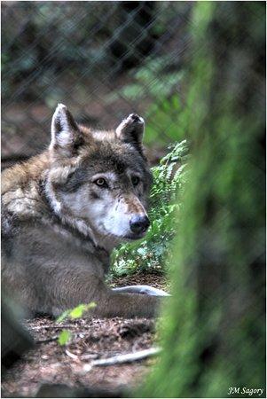 Gouarec, Prancis: Un des loups de Coat Fur