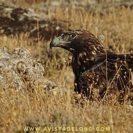 Observacion De Lobo Iberico En La Sierra De La Culebra Zamora