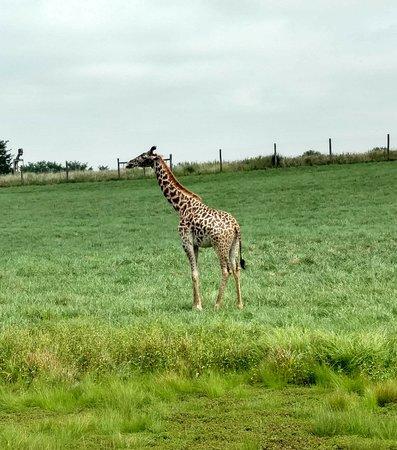 Cumberland, Οχάιο: Giraffe
