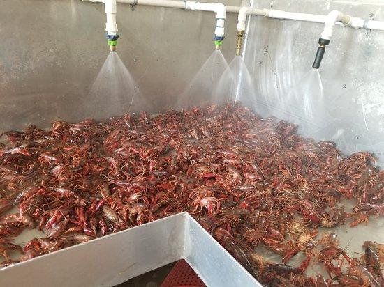 Liberty, TX: Crawfish when in Season