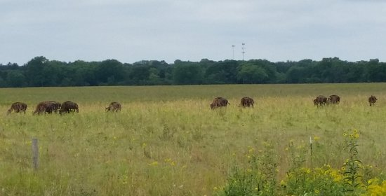 Afton, MN : Bison on the tall-grass prairie.