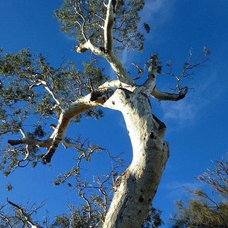 Ngargee Tree