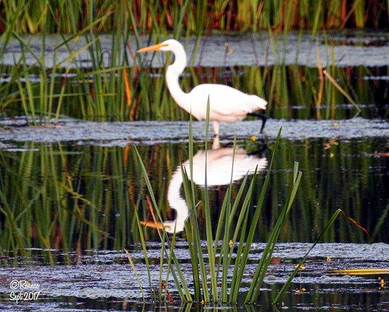 Montezuma National Wildlife Refuge: Great White Egret...