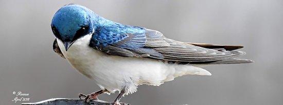 Montezuma National Wildlife Refuge: Sweet Barn Swallow Taken At The Entry Area...