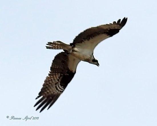 Montezuma National Wildlife Refuge: An Osprey Fly Over!