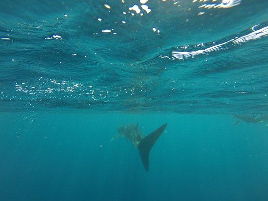 Ningaloo Whaleshark Swim: Whale Shark Swimming Away