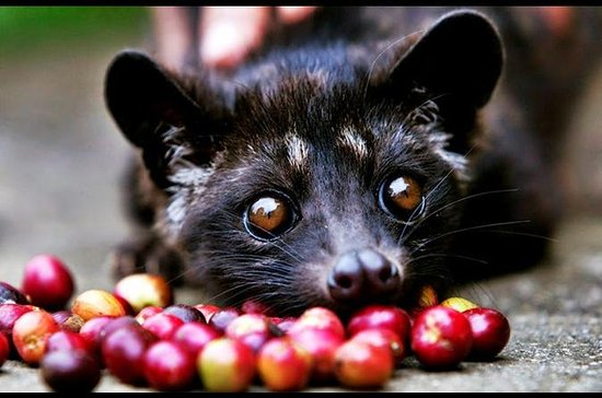 Best Of Bali Luwak Coffee Plantation...