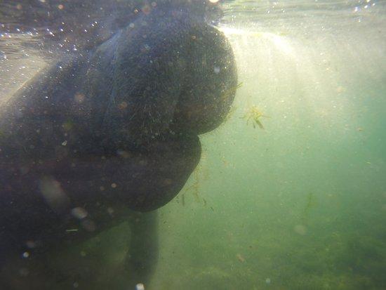 Bird's Underwater: Sniffing manatee!